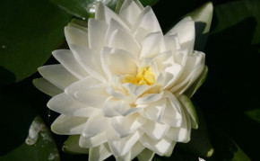 Aquatic plants: White Hardy Water lilies: Gonnere