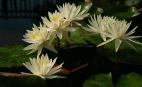 Pond plants: Hardy Water Lilies: Virginia