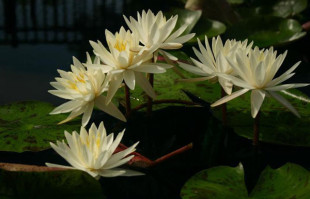 Pond plants: Hardy Water Lilies: Virginia