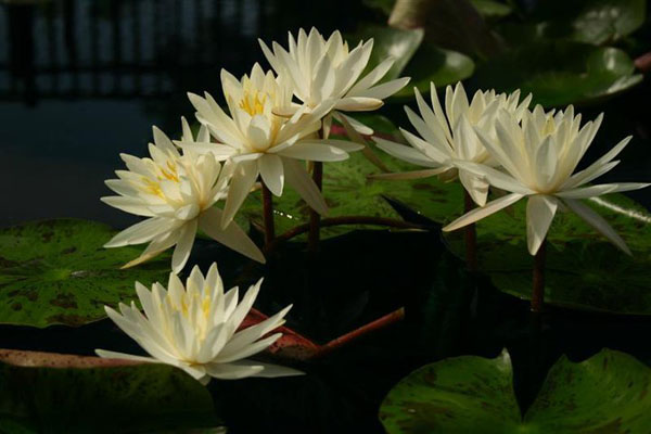 Hardy water lilies for sale, Virginia water lily, White hardy wa
