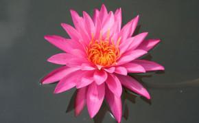 Pink Hardy Water Lily - Mayla
