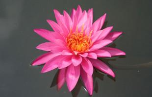 Pink Hardy Water Lily – Mayla