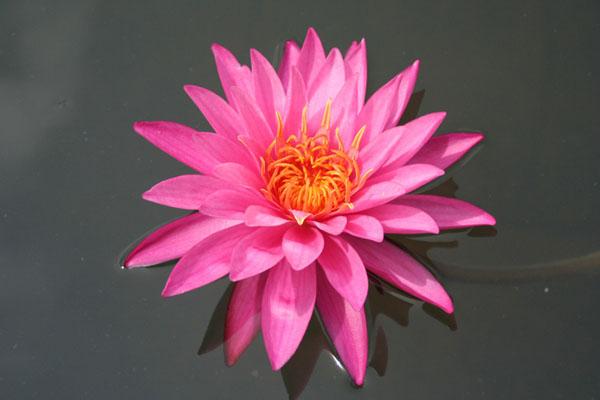 Mayla, Mayla hardy water lily, best pink Hardy waterlily, Pink H