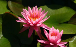 Pond Plants: Hardy Water Lily: Perry's Rich Rose