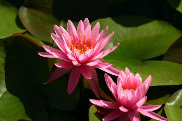 Perrys Rich Rose. Pink Hardy water lilies, pond plants for sale