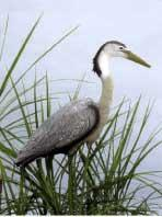 Pond & Garden Protection: Heron, Great Blue - Pond Maintenance