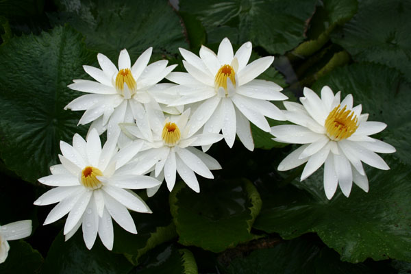 White Nightblooming tropical water lily,water lilies, water lili