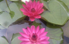 Red Tropical night blooming water lily: Antares