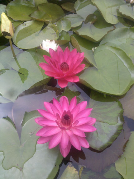 Red night blooming tropical,night blooming water lily for your