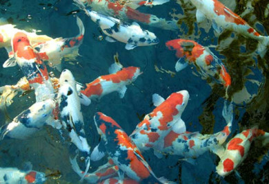 How many koi can i have in my pond for Koi fish care