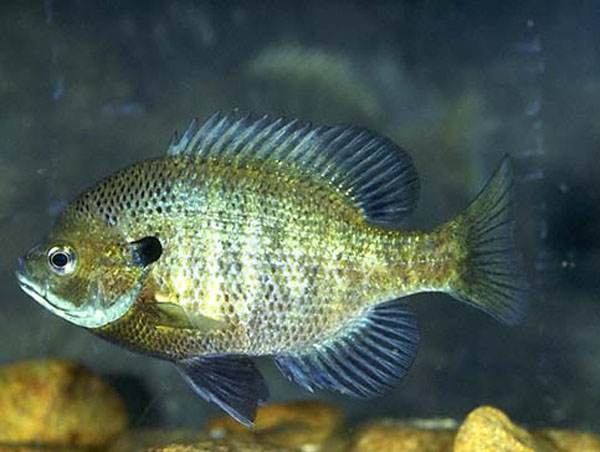 bluegill, aquaponics, eating fish