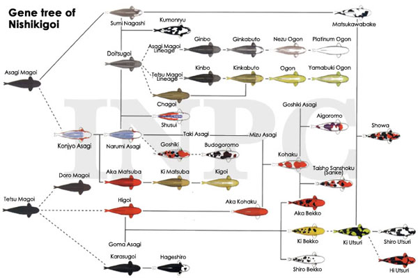 Koi classifications colors and terms for Koi reproduction