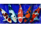 How do you determine the value of a Koi?