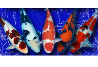How do you determine the value of a koi for How much are koi fish worth