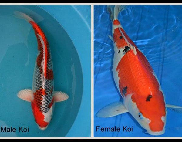 Male Koi, Female Koi, Sexing Koi