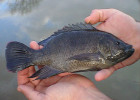 Tilapia are good for aquaponics and ponds