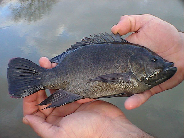 talapia mozambique, talapia for sale Los Angeles, aquaponics