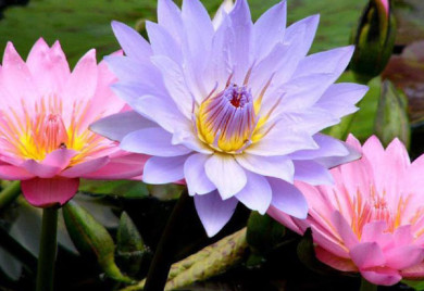 tropical water lilies, water lilies, how to grow water lilies