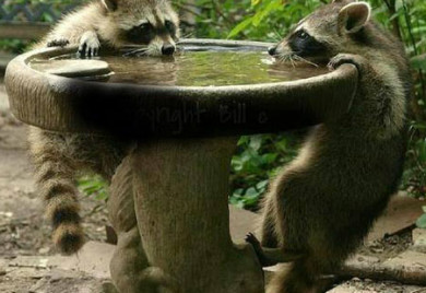How to keep raccoons from your pond, racoons, Koi