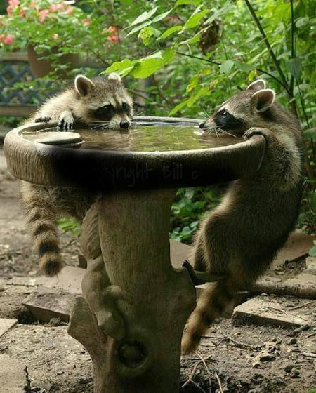 How to keep the raccoons away - How to keep raccoons out of garden ...