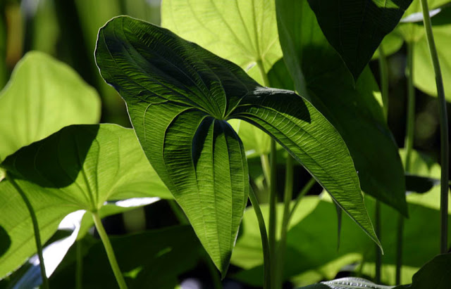 The calming cool green of Arrowhead leaves display an intricate railroad pattern. This easy-to-grow plant is a crowd pleaser in the pond world.