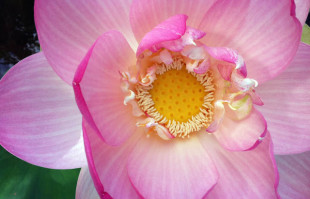 Pink Lotus: Who doesn't love the Lotus?