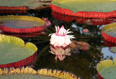 The regal Victoria Waterlily, with bouyant leaves that can hold a human being. For more information on this amazing waterlily,