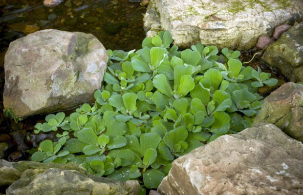Water Lettuce: I've had a love affair with this floating plant for years.